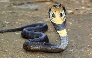 Укусила кобра