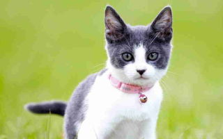 Ошейник для кошек: от блох и клещей