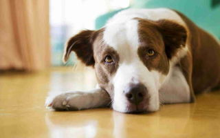 Какие симптомы энцефалита у собаки, после укуса клеща