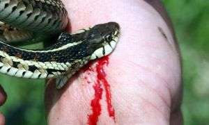 Ядовитая змея кобра