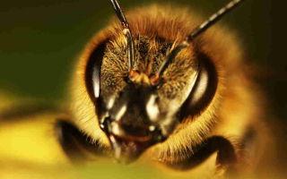 Что делать если укусила пчела