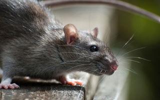 Что делать при укусе крысы
