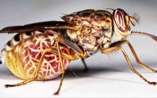 Последствия укуса мухи цц
