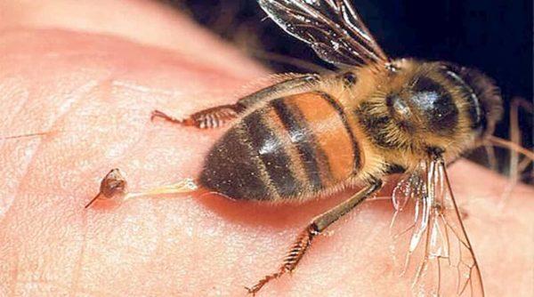 пчела жало