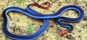 голубой бунгарус
