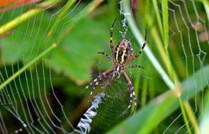 паук- крестовик