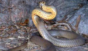 сетчатая змея
