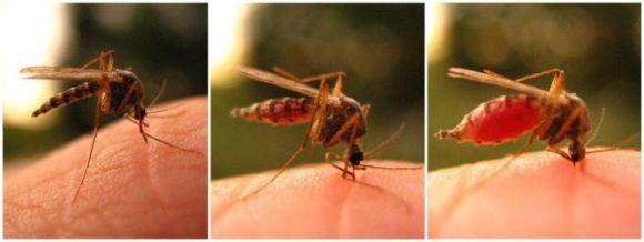 кусает комар