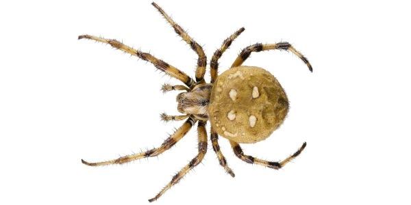 внешний вид паука