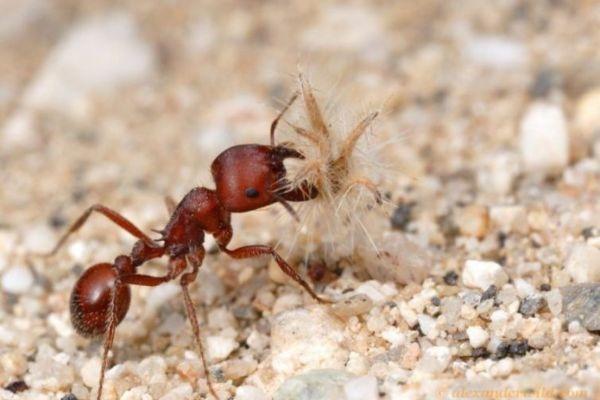 красный муравей-жнец