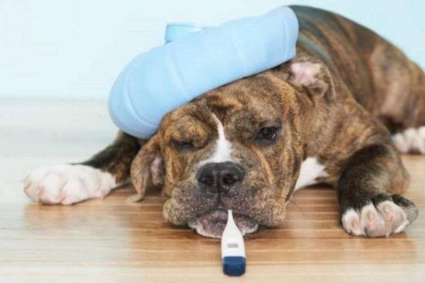 лихорадка у собаки