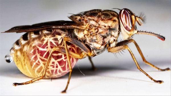 муха цеце