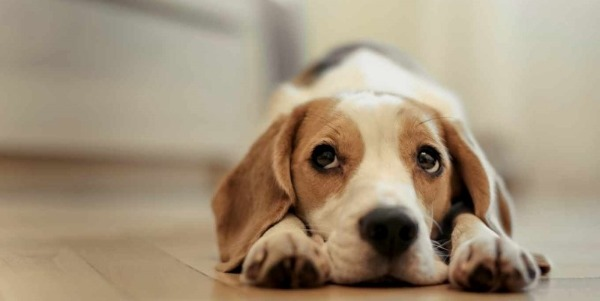 недомогание собаки