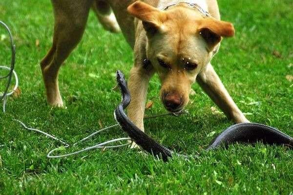 собаку укусила гадюка