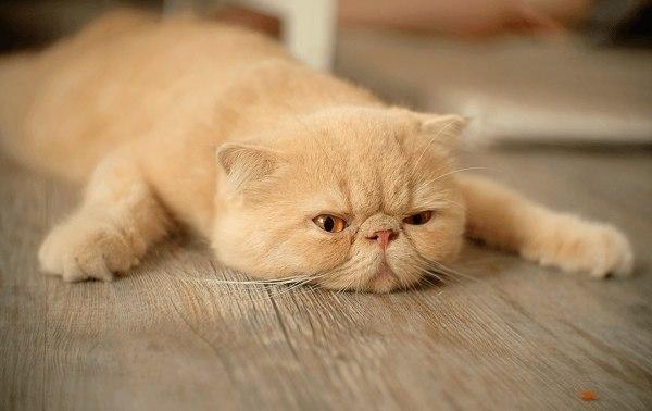 вялость у кота