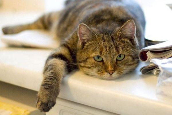 высокая температура у кота